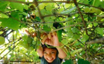 coltivazione biologica danneggia la vigna