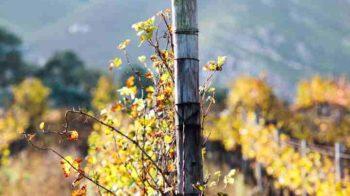 Lo Chardonnay tra Oregon e Nuova Zelanda